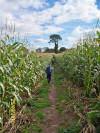 The maize is as high as an elephant's eye